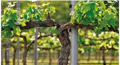 Eco-Trellis-Vine